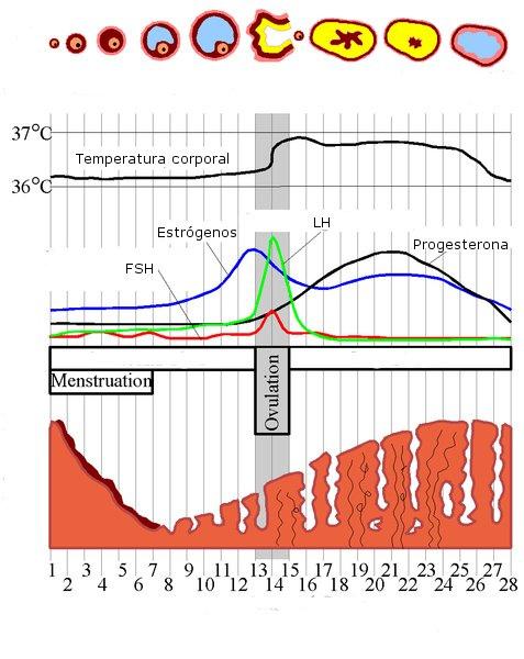 The Menstrual Cycle | Natures Healing Menstrual Cycle Calendar Graph